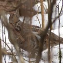 Ruffed grouse > Bonasa umbellus