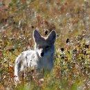 Coyote,leider zu weit entfernt