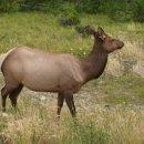 Elk, Wapiti