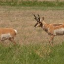 Gabelhornantilope, Pronghorn